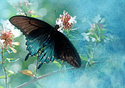 Pipevine Swallowtail Butterfly Prints - Translucent Print by Betty LaRue