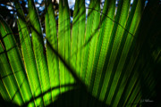 Palmetto Posters - Translucent Green Poster by Christopher Holmes