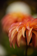 Dahlias Photos - Translucent Petals by Mike Reid