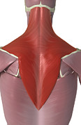 Biomedical Illustration Art - Trapezius Muscle by MedicalRF.com