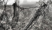 Barbed Wire Fences Acrylic Prints - Trapped Acrylic Print by JC Findley