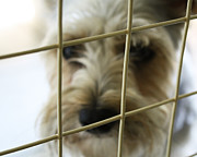 Schnauzer Art Photos - Trapped by Kayla Nicole
