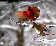 Cardinals Prints - Traveling Together Print by Bill Stephens