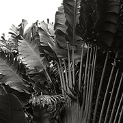Monocromatico Posters - Travellers Palm Ravenala madagascariensis Poster by Sharon Mau