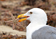 Seagull With Starfish Prints - Treasure Island Print by Fraida Gutovich