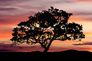 Pictures Photo Originals - Tree at Sunset by Paul Huchton