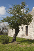 Goliad Texas Posters - Tree at the Espiritu Santo Poster by Kim Henderson