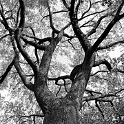 Black And White Photography Metal Prints - Tree Branches Metal Print by Adam Garelick