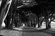 Marin County Posters - Tree Canopy Promenade Road Drive . 7D9977 . Black and White Poster by Wingsdomain Art and Photography