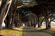 Tomales Bay Prints - Tree Canopy Promenade Road Drive . 7D9977 Print by Wingsdomain Art and Photography