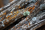 Lichen Pictures Prints - Tree Colors Print by John Rizzuto
