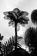 Bob And Nancy Kendrick Prints - Tree Fern Print by Bob and Nancy Kendrick