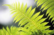 Backlit Prints - Tree Fern Print by Ron Dahlquist - Printscapes