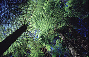 Graphic Photos - Tree Ferns by David Halperin