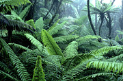 Puerto Rico Prints - Tree Ferns El Yunque National Forest Print by Thomas R Fletcher
