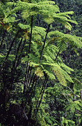 Tree Ferns Digital Art - Tree Ferns El Yunque by Thomas R Fletcher