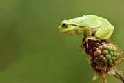 Green Day Art - Tree Frog by © Walter Soestbergen