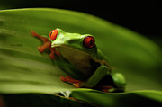 Tree Creature Prints - Tree Frog 10 Print by Bob Christopher