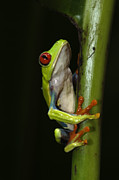 Tree Creature Prints - Tree Frog 18 Print by Bob Christopher