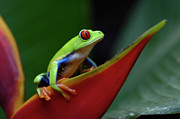 Tree Creature Prints - Tree Frog 20 Print by Bob Christopher