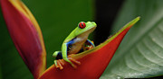 Tree Creature Prints - Tree Frog 21 Print by Bob Christopher