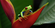 Tree Creature Prints - Tree Frog 22 Print by Bob Christopher