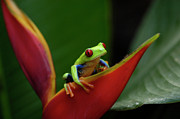 Tree Creature Prints - Tree Frog 23 Print by Bob Christopher