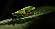 Tree Creature Prints - Tree Frog 5 Print by Bob Christopher