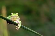 Tree Frog Print by Aaa