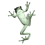 Tree Frog Against White Background Print by Hunter Wilson Photography
