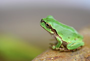 Green Frog Prints - Tree Frog Print by Copyright Crezalyn Nerona Uratsuji