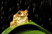 One Animal Prints - Tree Frog In Rain Print by MarkBridger