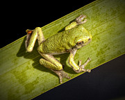 Tiny Tree Frog Prints - Tree Frog sitting on a Green Leaf Print by Randall Nyhof