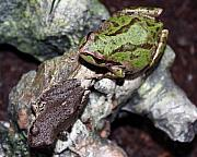 Brown And Green Prints - Tree Frogs Print by Nick Gustafson