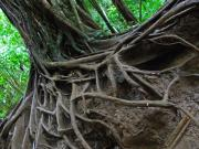 Tree Roots Posters - Tree from Manoa Falls Poster by Elizabeth Hoskinson
