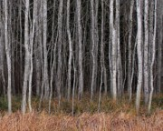 Tree Lines Prints - Tree Grove Print by Bill Kellett