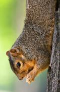 Fox Squirrel Art - Tree Hugger by James Marvin Phelps