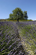 Fragrance Prints - Tree in a field of lavender. Provence Print by Bernard Jaubert