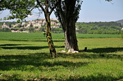 Strength Metal Prints - Tree in  a field with Vallauris village Metal Print by Sami Sarkis