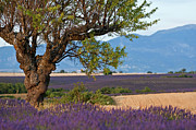 Sami Sarkis Metal Prints - Tree in a lavender field at sunset Metal Print by Sami Sarkis