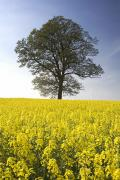 Ground Level View Posters - Tree In A Rapeseed Field, Yorkshire Poster by John Short