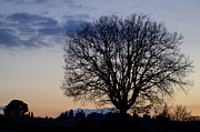 Big Tree Photos - Tree in blue hour by Mats Silvan