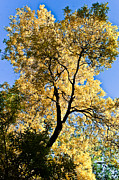 Yellow Leaves Framed Prints - Tree in Fall Framed Print by Scott Sawyer