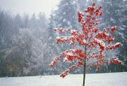 Snow-covered Landscape Art - Tree In The Winter by Natural Selection Craig Tuttle