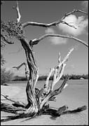 Tree In Tobago Print by Julie VanDore