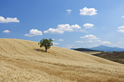 Standing Out From The Crowd Posters - Tree In Wheat Field With Fluffy Clouds, Summer Poster by Martin Ruegner