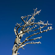 Hoar Prints - Tree in winter against a blue sky Print by Bernard Jaubert