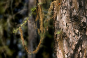 Draped Photos - Tree moss - Green soft beauty by Christine Till