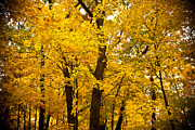 Yellow Leaves Prints - Tree of Gold Print by Kamil Swiatek
