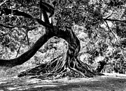 Tree Roots Photo Metal Prints - Tree Of Life - BW Metal Print by Kenneth Mucke